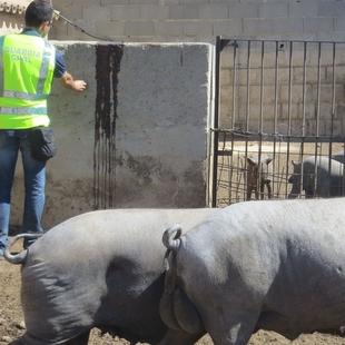 Detenidos dos vecinos de Fuente del Maestre como presuntos autores de la sustracci�n de cerdos