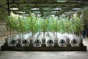 Detenida una persona por cultivo de plantas de cannabis en Valdefuentes