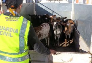 Imputado por la sustracci�n de 13 cabras de una finca en Feria