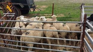 Recuperadas nueve ovejas robadas en una explotaci�n de Valencia del Ventoso