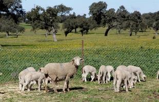 La Zarza celebra su feria ganadera con la subasta de 52 ovejas de pura raza merina de la Diputaci�n