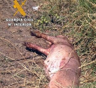 La Guardia Civil investiga al presunto autor del robo de 15 lechones en Ribera del Fresno