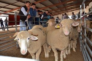 Las ganader�as extreme�as se dotan de ganado ovino merino de alta calificaci�n de la Diputaci�n de Badajoz