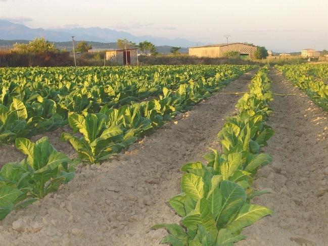 Unas jornadas analizarán este jueves en Talayuela la situación actual del sector del tabaco
