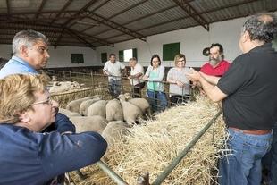 La Diputación de Cáceres entrega a 22 ganaderos un total de 173 ovejas de la raza Merino Precoz