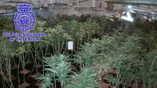 Detenido un vecino de Santa Amalia que tenía 71 plantas de marihuana y piezas arqueológicas de diversas épocas