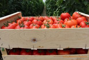 Las infracciones en el transporte de la campaña del tomate en la provincia disminuyen en 2016 un 23,2%