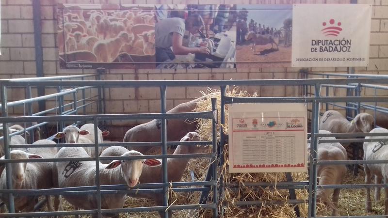 El ovino subastado en el Salón de Castuera procedente de la finca La Cocosa acaba con un remate final de 6.480 euros