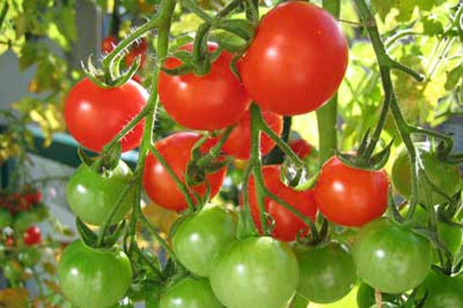 La modernización del cultivo del tomate, a debate en unas jornadas de Cooperativas Extremadura en Don Benito