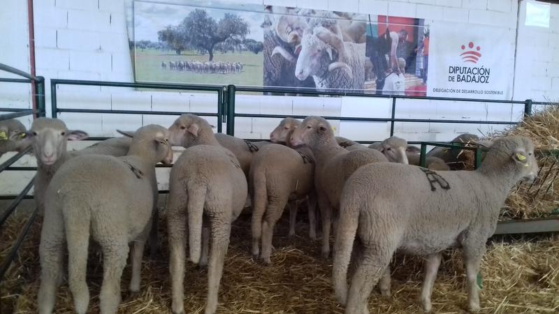 Éxito rotundo de la Diputación de Badajoz en la subasta de ganado de la XXXIV Feria Agroganadera de Trujillo
