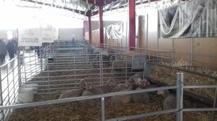 Éxito de la Diputación de Badajoz en la subasta de ganado en la XX Feria de La Coronada