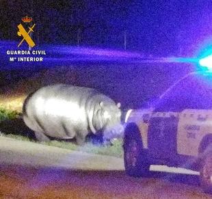 La Guardia Civil devuelve un hipopótamo de un circo fugado
