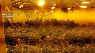La Guardia Civil interviene 700 plantas de marihuana en Guareña