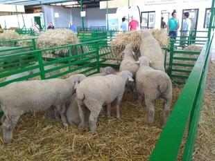 La raza Merino Precoz de la Diputación de Cáceres premio a la mejor ganadería en la Feria de Zafra