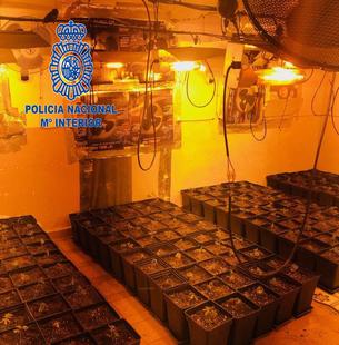 Policía Nacional detiene a un varón por cultivo de marihuana interviniendo 321 plantas
