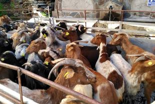 La Diputación adquiere el último rebaño de cabras jurdanas de la provincia para su reproducción y mejora genética