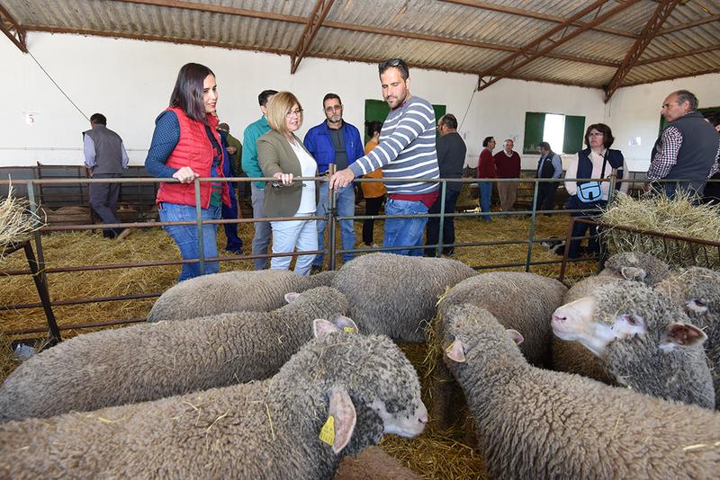 31 ganaderos reciben 181 ejemplares de la raza Merino Precoz criada en la finca El Cuartillo de la Diputación de Cáceres