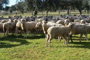 La Diputación de Badajoz participó en la subasta de ganado de la IX Feria Agroturística y Ganadera de la Siberia