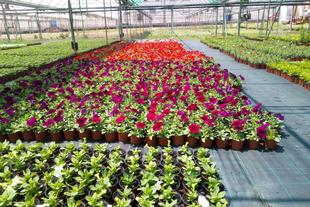 El vivero provincial comienza a repartir 40.000 flores de temporada a los ayuntamientos solicitantes
