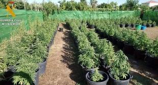 La Guardia Civil desmantela en una parcela de Villanueva de la Serena una plantación con 256 plantas de Marihuana