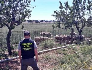 La Guardia Civil investigó al presunto autor del robo de ganado en una explotación ganadera en Talavera la Real