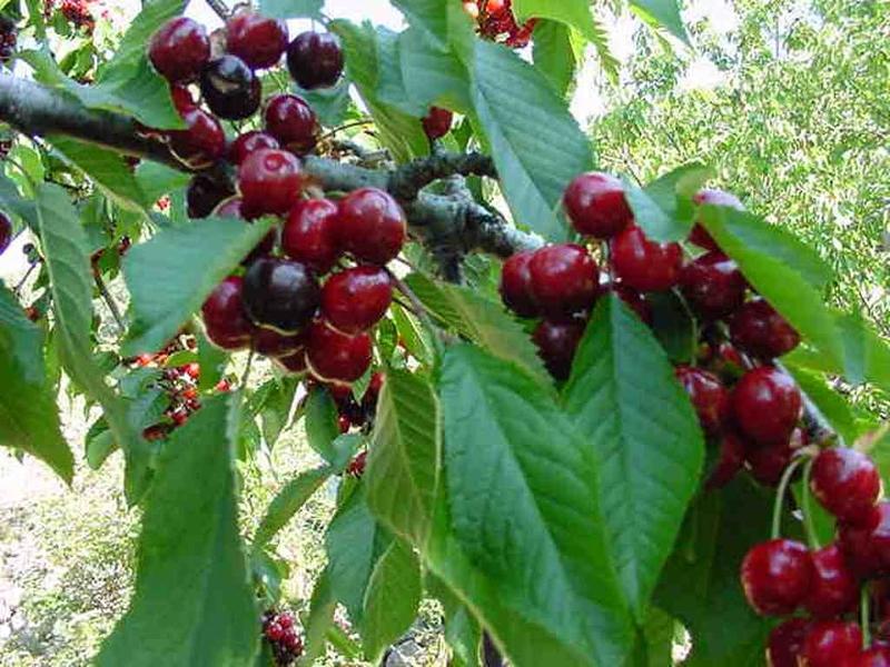 El Gobierno incluye a los productores de cerezas del norte de Cáceres en la reducción del IRPF a los agricultores afectados
