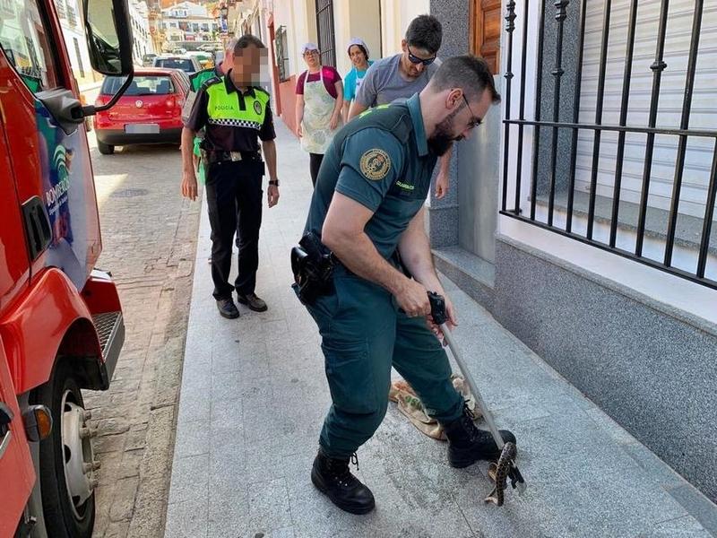 La Guardia Civil captura una culebra de más de metro y medio en un canalón de una vivienda en Hornachos