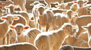 La Diputación de Badajoz ha participado en la subasta de ganado de la X Feria Agroganadera y Multisectorial de Siruela