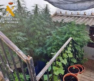 La Guardia Civil desmantela en el patio de una vivienda de Reina una plantación con 80 plantas de Marihuana