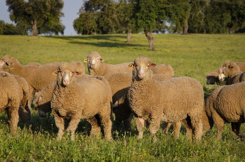 La Diputación de Badajoz organiza una subasta de ganado ovino de raza merina en la Finca La Cocosa