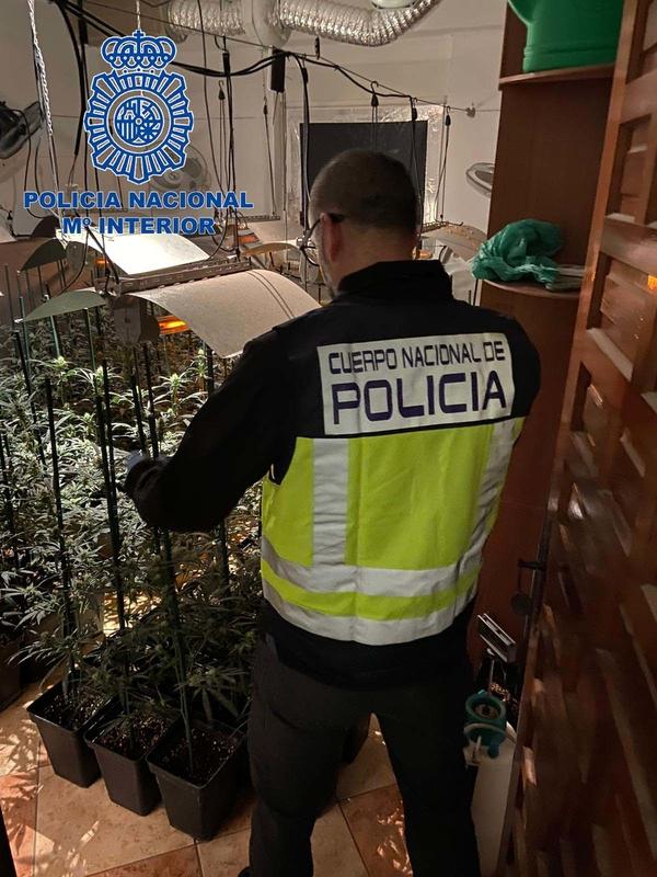 Encuentran en Mérida una plantación de marihuana con más de 500 plantas