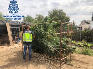 Detenidas cuatro personas en Mérida por plantar marihuana en sus parcelas