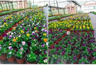 El vivero provincial refuerza el servicio a los ayuntamientos con la nueva campaña de plantas ornamentales de invierno