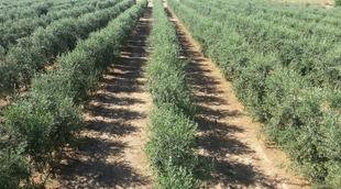 Desarrollo Rural organiza la II Jornada formativa de Olivicultura el 6 de mayo en Almendralejo