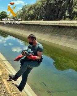 La Guardia Civil rescata un joven ''Búho Real'' que cayó al Canal de la Dehesa en Casas de Don Pedro