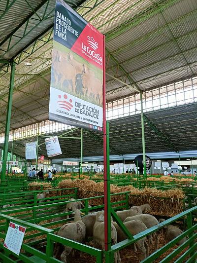 Los ejemplares ovinos subastados en Zafra acabaron con un remate final de 6.520 euros
