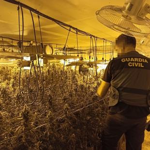 Desmanteladas dos plantaciones con 823 plantas e intervenidos  más de cinco kilos y medio de cogollos de marihuana en inmuebles