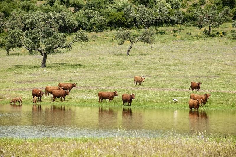 La IGP Ternera de Extremadura crece en 2017 casi un 20% en número de animales certificados