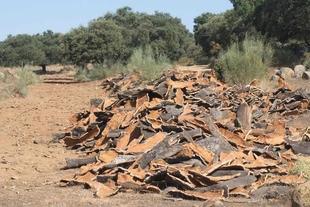 El nuevo decreto forestal de la Junta de Extremadura simplificará notablemente los trámites de los aprovechamientos