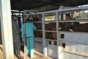 Los titulares de explotaciones bovinas y caprinas ya pueden solicitar ayudas de la Junta para mejorar en bioseguridad