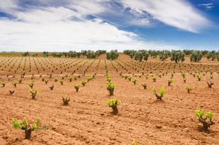Agricultura abona 7,5 millones de euros de las ayudas a la reestructuración y reconversión del viñedo