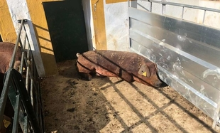La subasta de porcino del CENSYRA ha distribuido 75 animales a 32 ganaderías