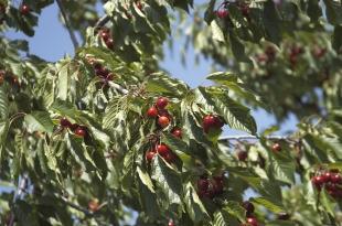 Salen al mercado las primeras cerezas certificadas del Jerte