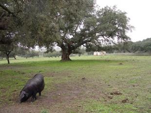 Prorrogado hasta el 31 de octubre el plazo para presentar el plan de participación de las subvenciones al porcino ibérico