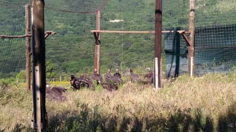 Aumentan los censos de buitre negro en Sierra de San Pedro y Monfragüe, las colonias más importantes a nivel mundial