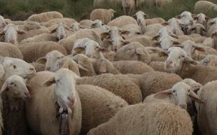 La Junta de Extremadura abona más de dos millones de euros a explotaciones de ovino y caprino afectadas por la pandemia