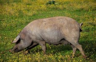 Extremadura contará este año con seis certámenes nacionales de ganado selecto