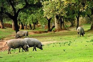 El CENSYRA subastará en marzo 48 ejemplares de ganado porcino raza duroc
