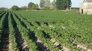 Agricultura notifica el pago del quinto año de compromiso de la ayuda a la producción integrada del tabaco