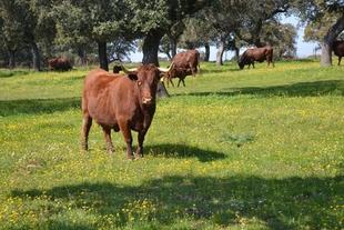 La Junta de Extremadura abona más de 3 millones de euros al vacuno de cebo, vacuno leche y pago básico